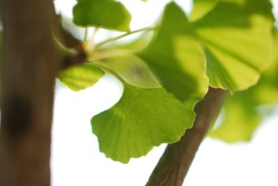 100710滝宮天満宮のいちょうの葉.JPG