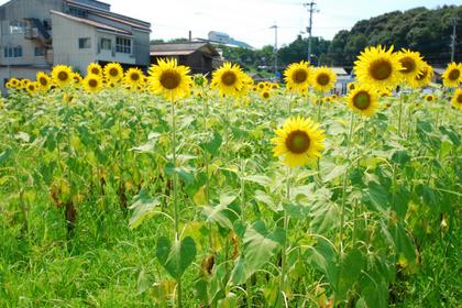 100725_ひまわり畑.JPG