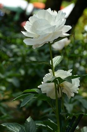 130518_白い花.jpg