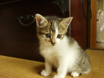 子猫時代も美猫だったこはる姉さん.jpg